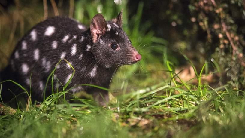 Spotted-tail Quoll in Tasmanian Devil Sanctuary