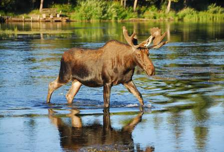 Moose in Kluane National Park